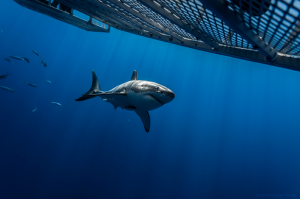 Exclusive 360 degree video of Great white shark | George Probst